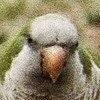 brooklyn parrots