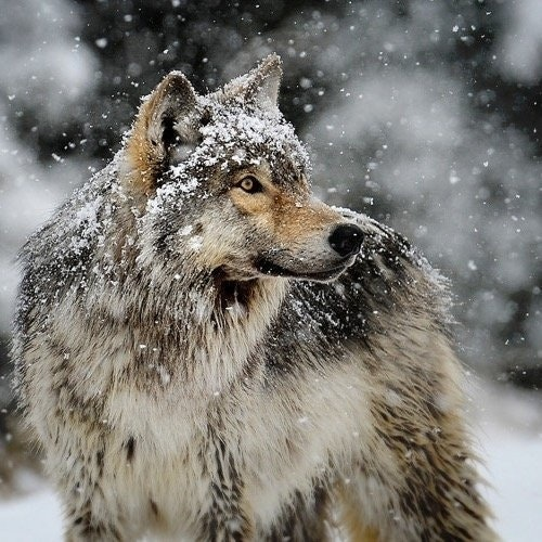 Btc_Wolf